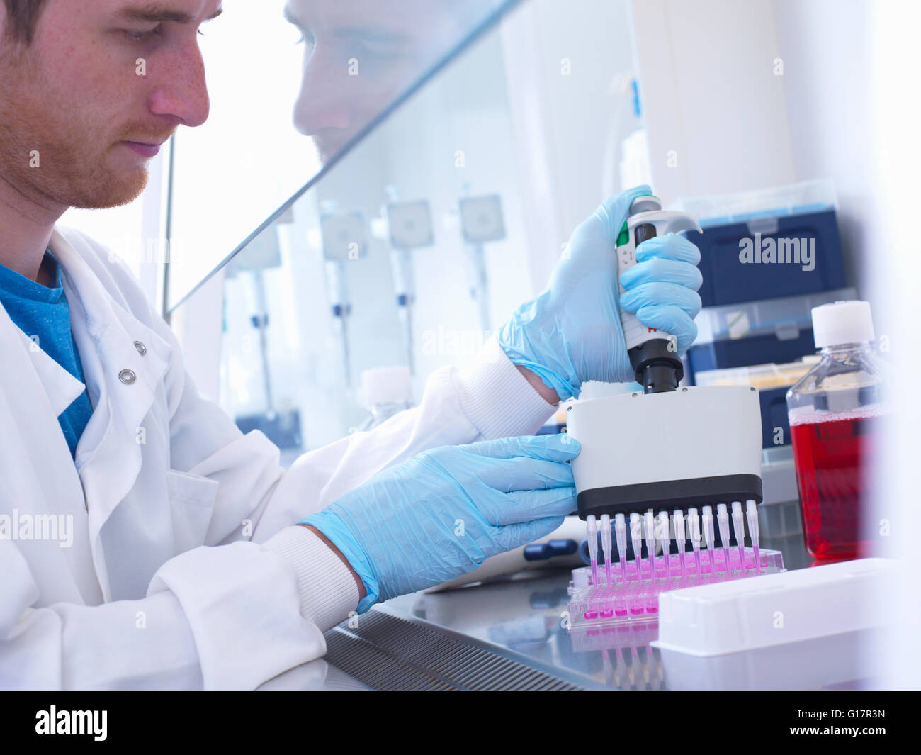 Scientist using multi well pipette to fill multi well plate in biological safety cabinet in laboratory, Jenner Institute, - Stock Image
