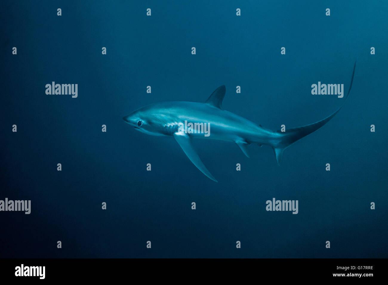 Critically endangered Thresher Shark (Alopias pelagicus) swimming in the deep water off Malapascua Island, Cebu, - Stock Image