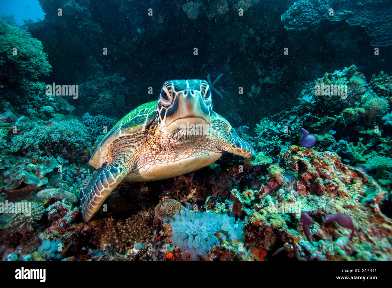 Rare green sea turtle (Chelonia Mydas), swimming in open ocean,, Cebu, Philippines - Stock Image