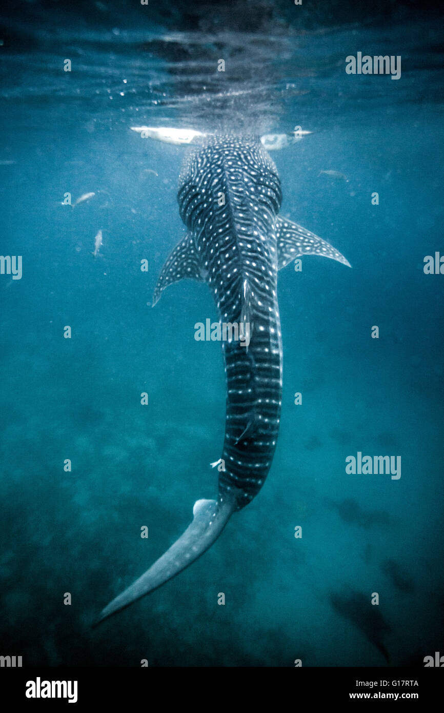 A huge Whaleshark (Rhincodon typus) swimming underneath a boat,, Cebu, Philippines - Stock Image