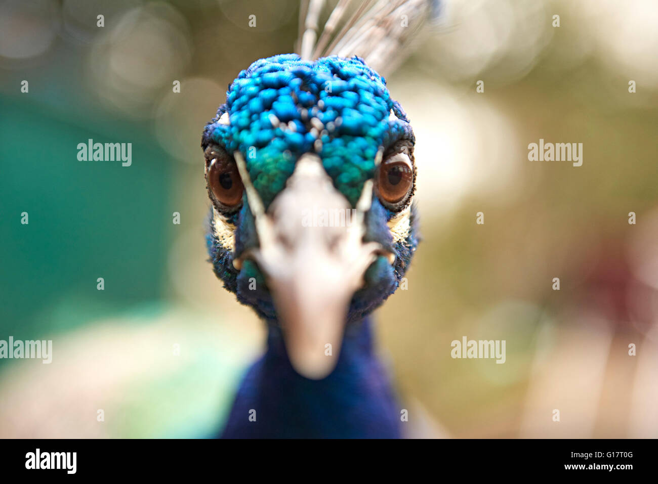 Close up portrait of staring blue peacock - Stock Image