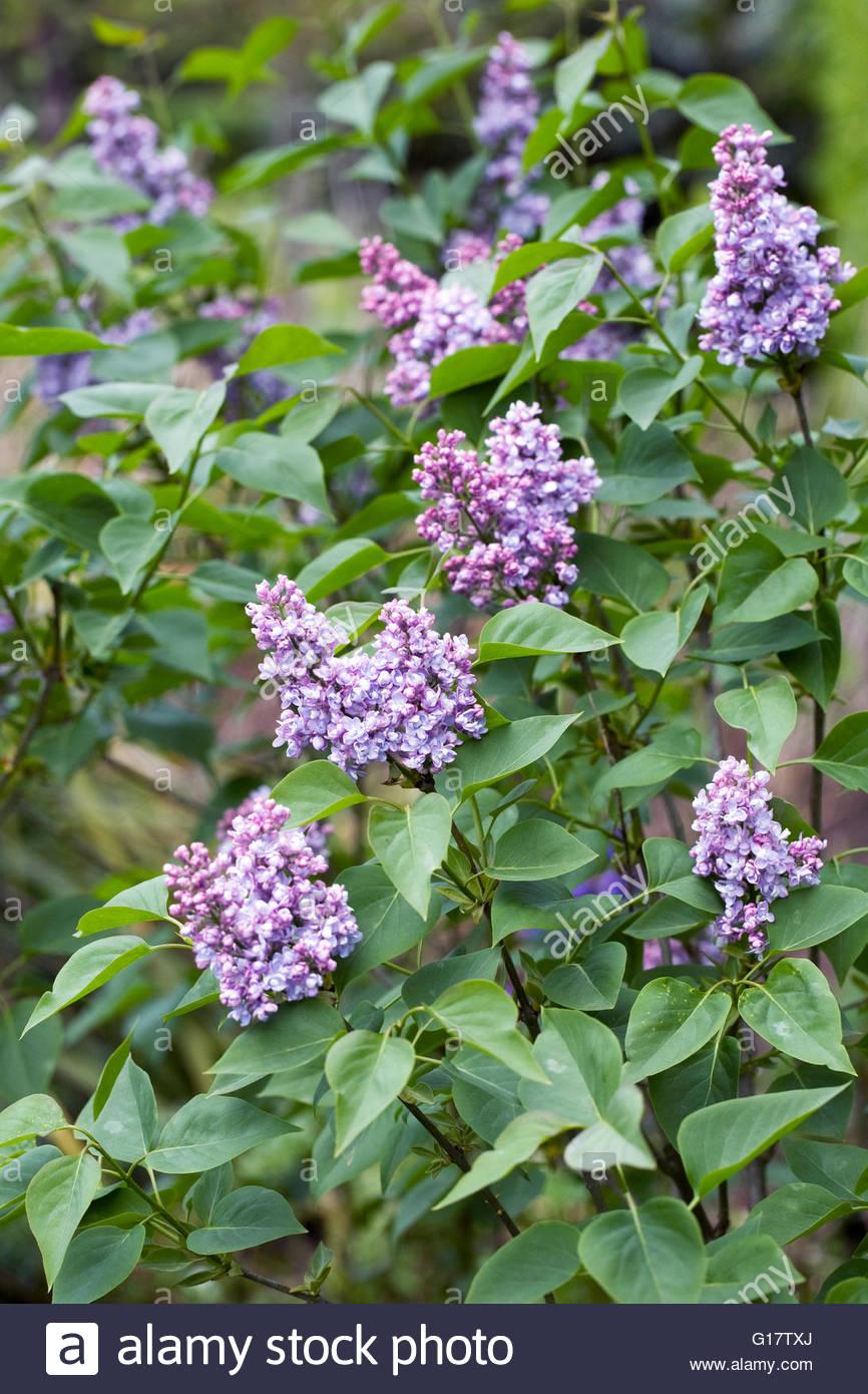 Syringa vulgaris 'Saint Joan'. Lilac flowers. - Stock Image
