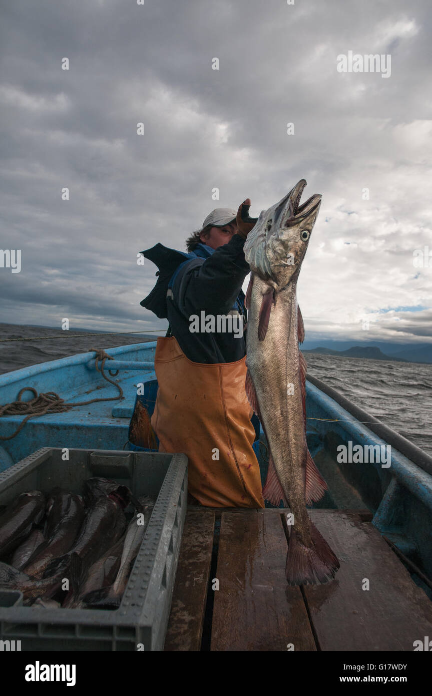 Line fishing for Sierra (Scomberomorus sierra) - Stock Image