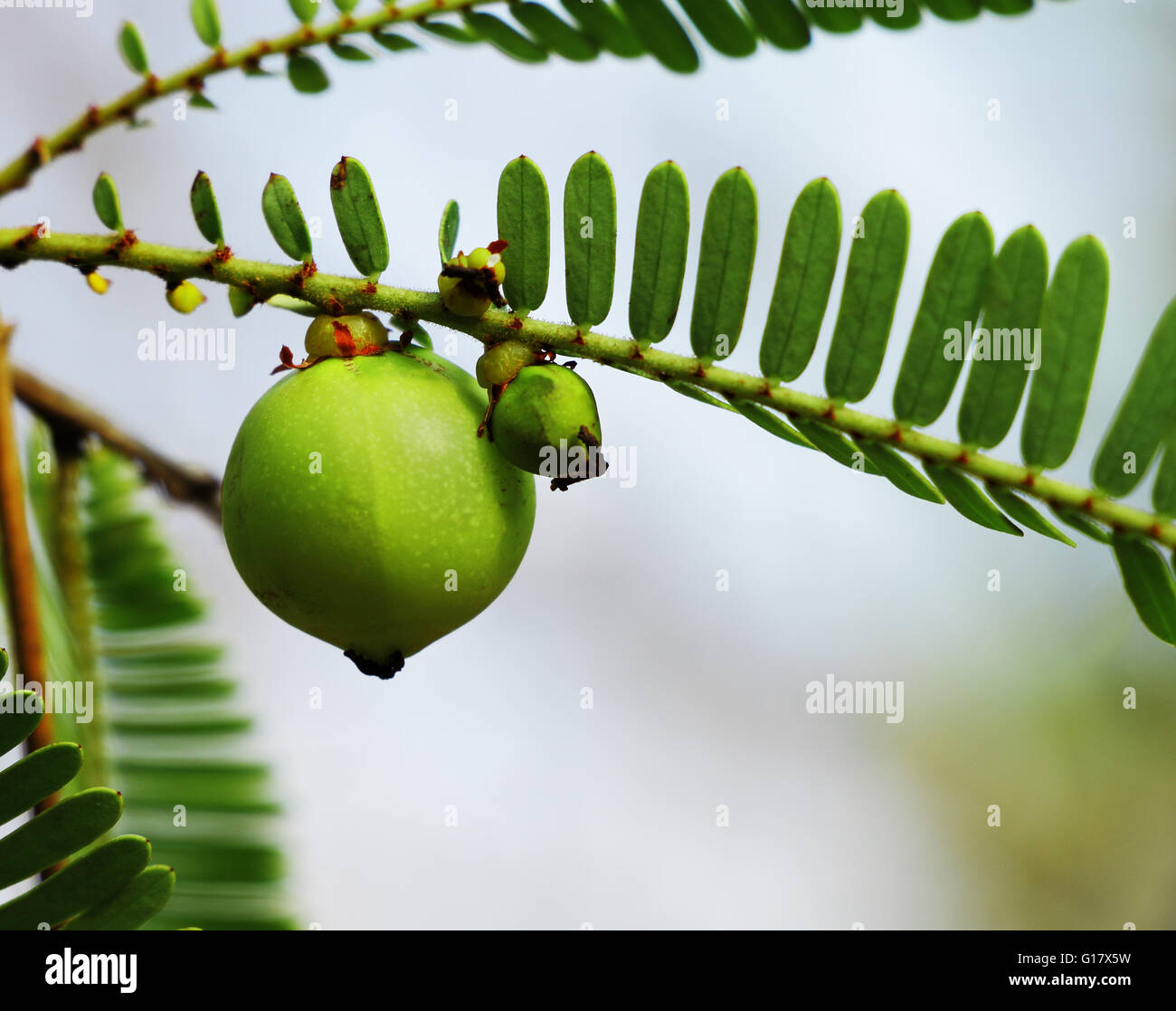 Indian gooseberry, Phyllanthus emblica, in plant. An essential ingredient  of traditional Indian Ayurvedic (herbal) - Stock Image