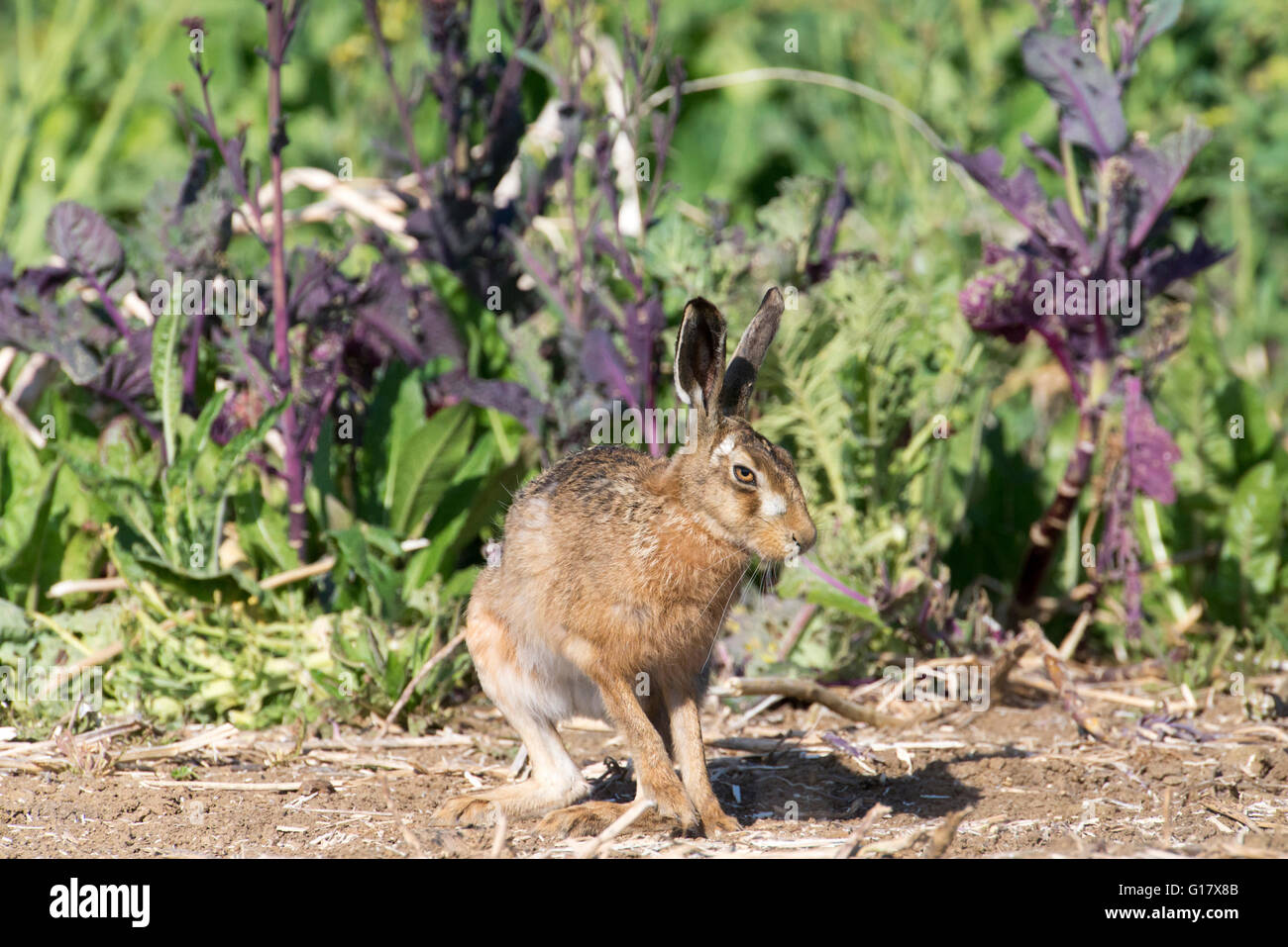 Brown hare (Lepus europaeus) twisting to change direction - Stock Image