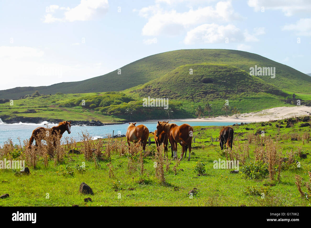 Horses on Coastal Pasture - Easter Island - Stock Image