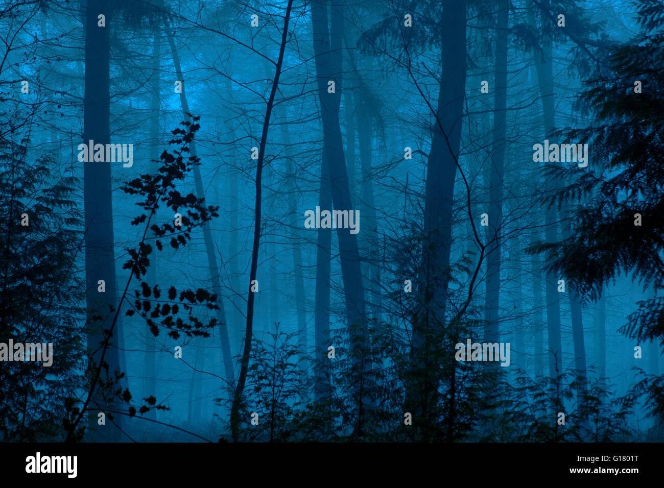 Mist and darkness closing in on conifer woodland - Stock Image