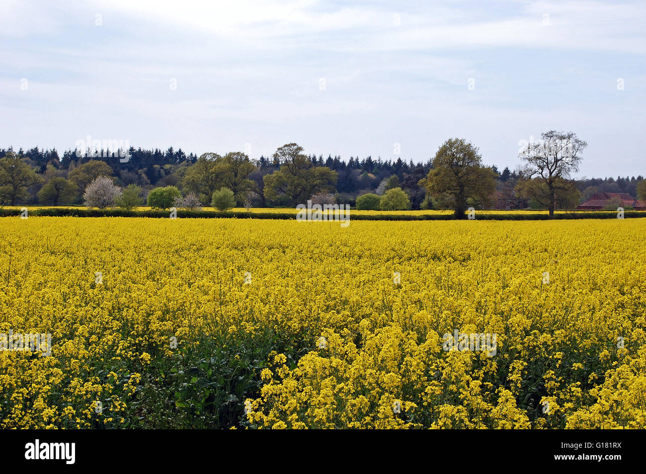 The bright yellow flowers of a rapeseed crop in the english stock the bright yellow flowers of a rapeseed crop in the english countryside at springtime with blossoming trees in the background mightylinksfo