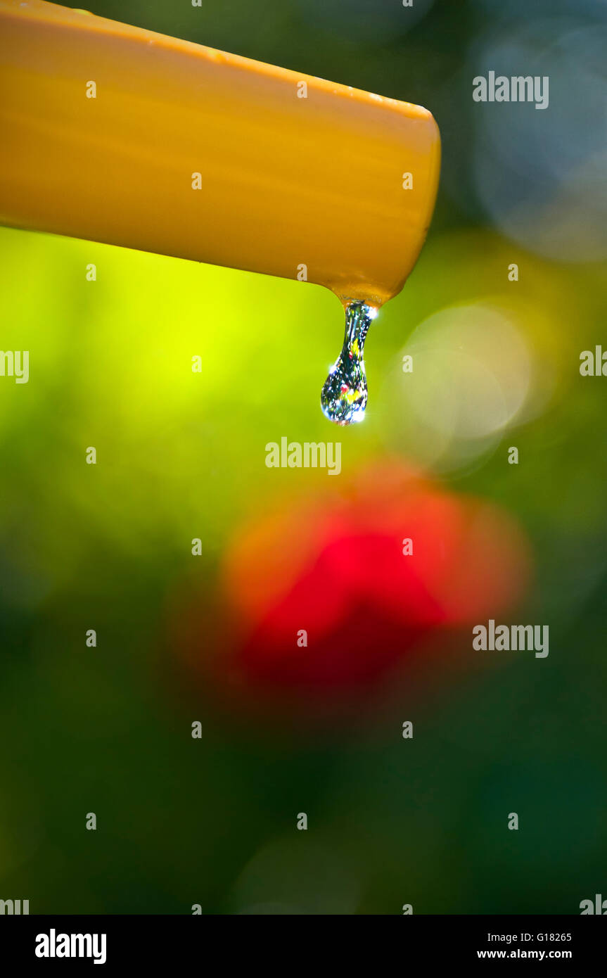 Hosepipe water drop closeup clear pure water droplet falling from garden hose in sunlit summer garden - Stock Image