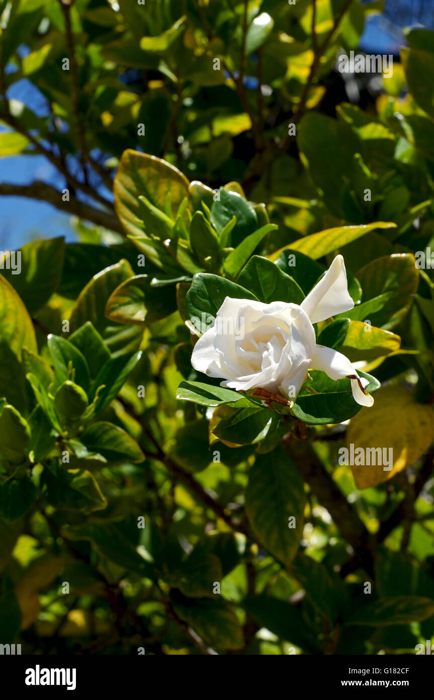 A single gardenia flower is in bloom surrounded by buds on the bush a single gardenia flower is in bloom surrounded by buds on the bush grown in tropical bonita springs florida mightylinksfo