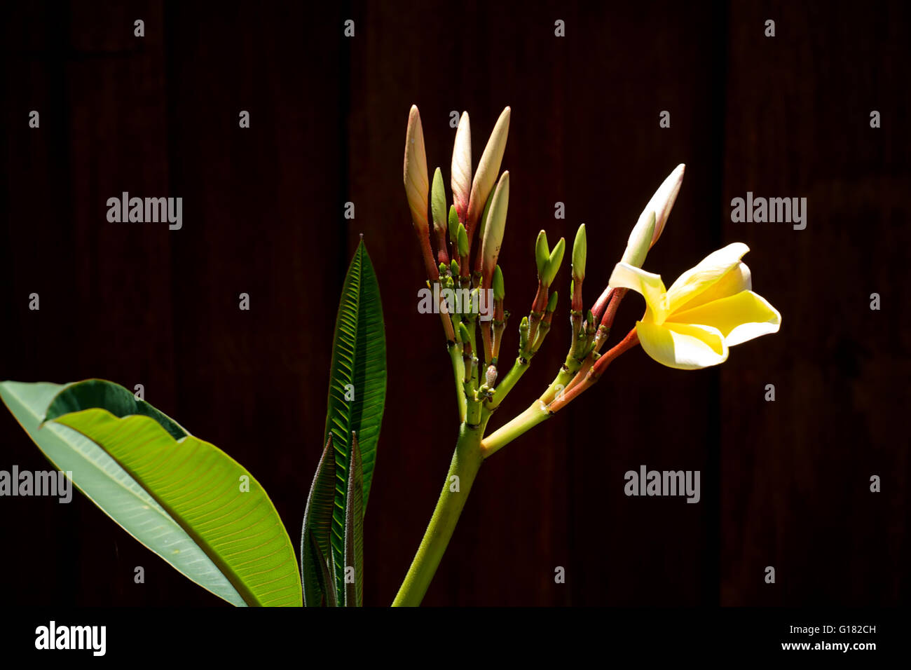 Detail Of Beautiful Plumeria Tree Showing Buds And An Open Flower In