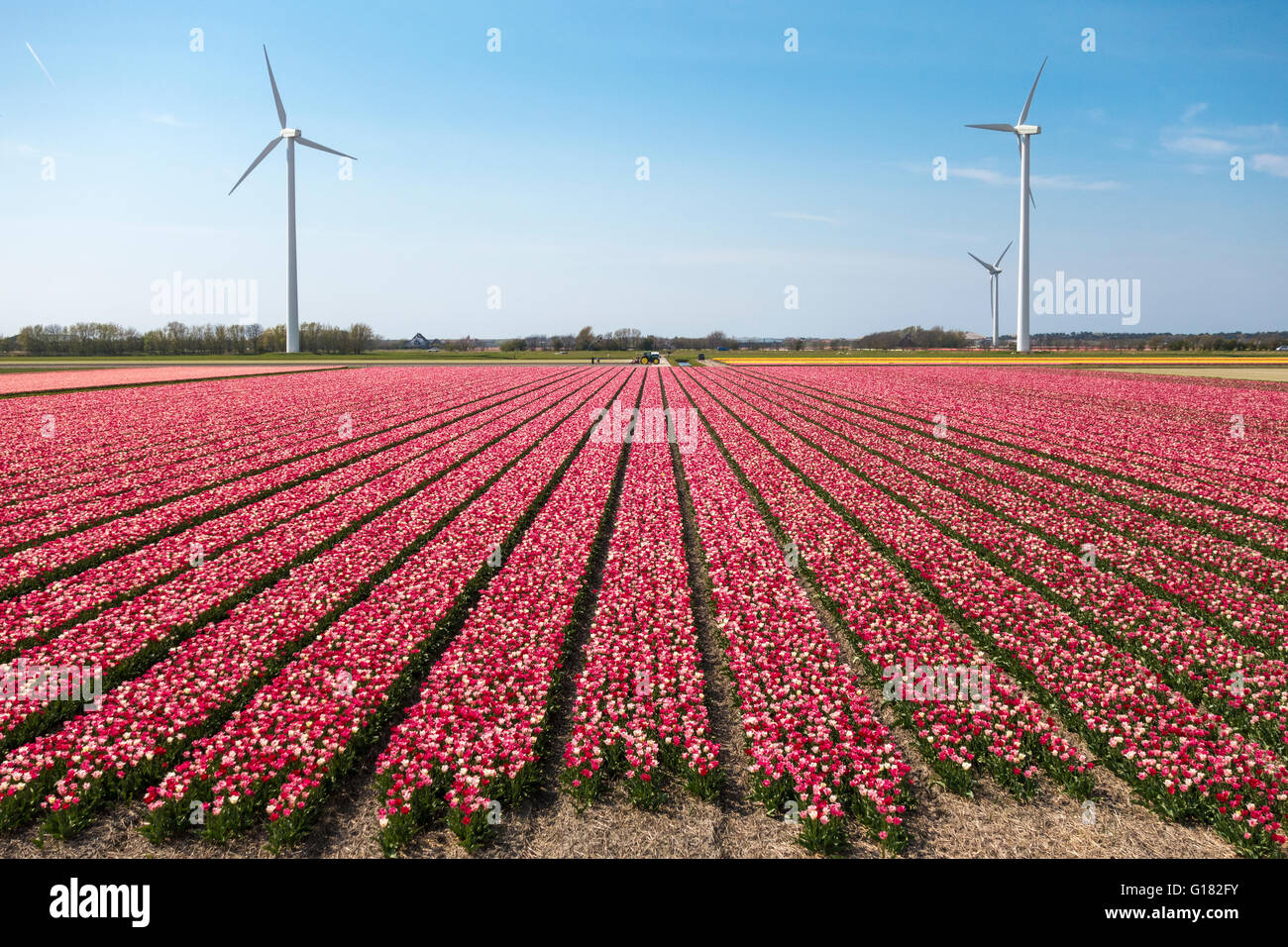 Tulips with wind turbines in The Netherlands. Tulip fields with mixed red and white tulips with three windmills. - Stock Image