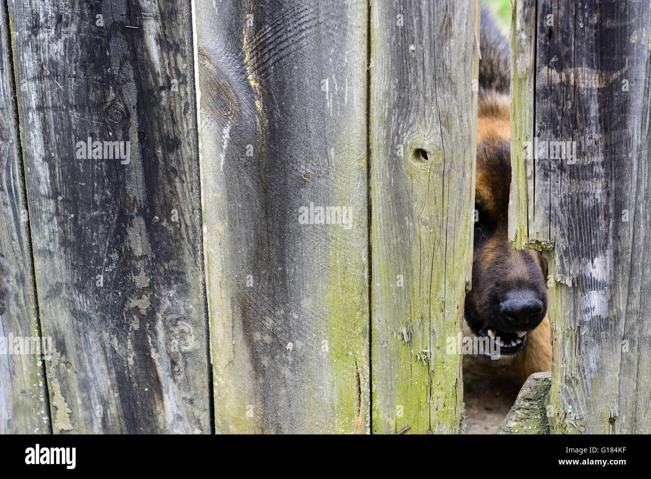 Nose of angry dog protruding through a hole in an old wooden fence - Stock Image
