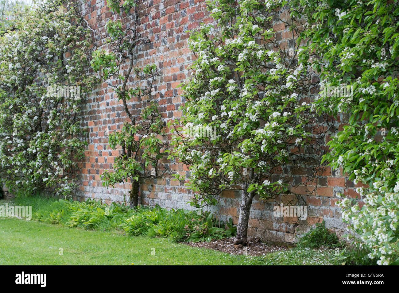 Espalier Garden Redux: Espalier Fruit Trees In Blossom Against The Walled Garden