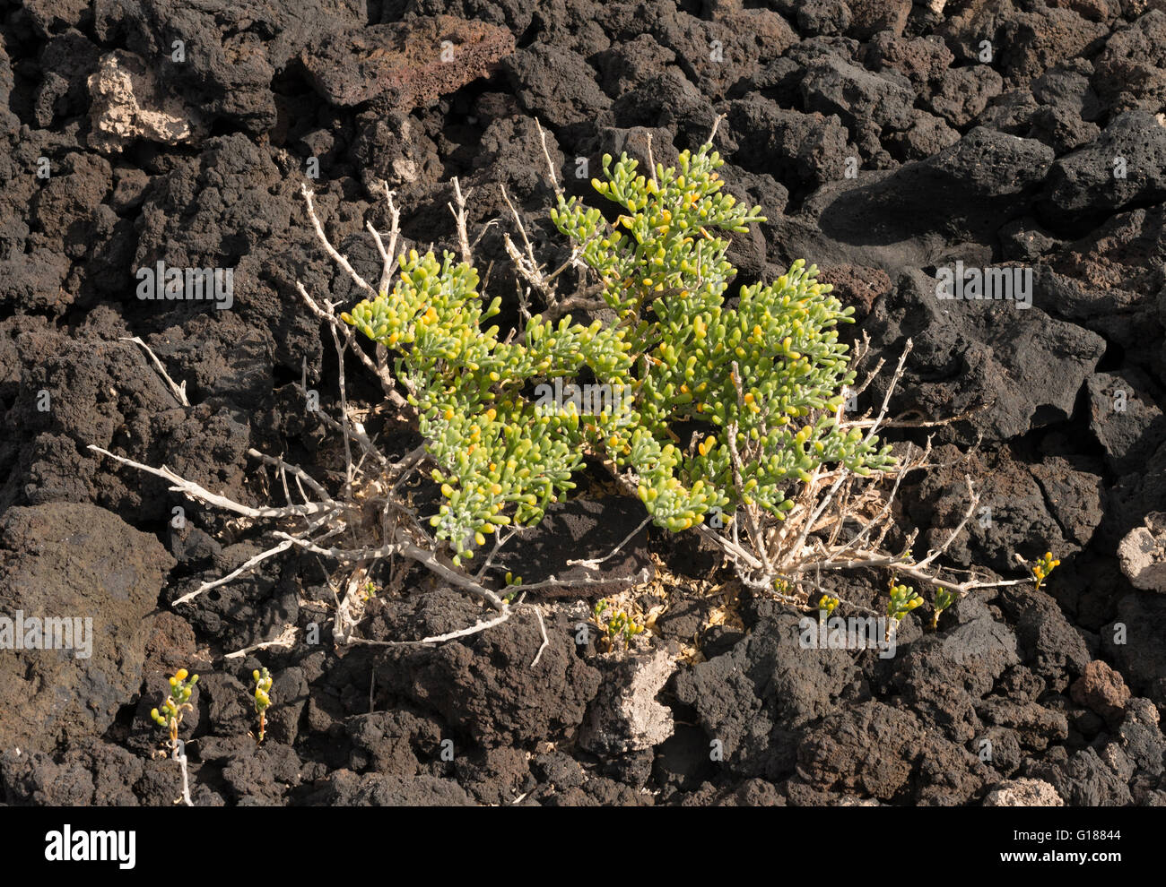 Zygophyllum fontanesii (uvilla de mar, sea grape), a very salt-tolerant plant which grows close to the sea in the Stock Photo