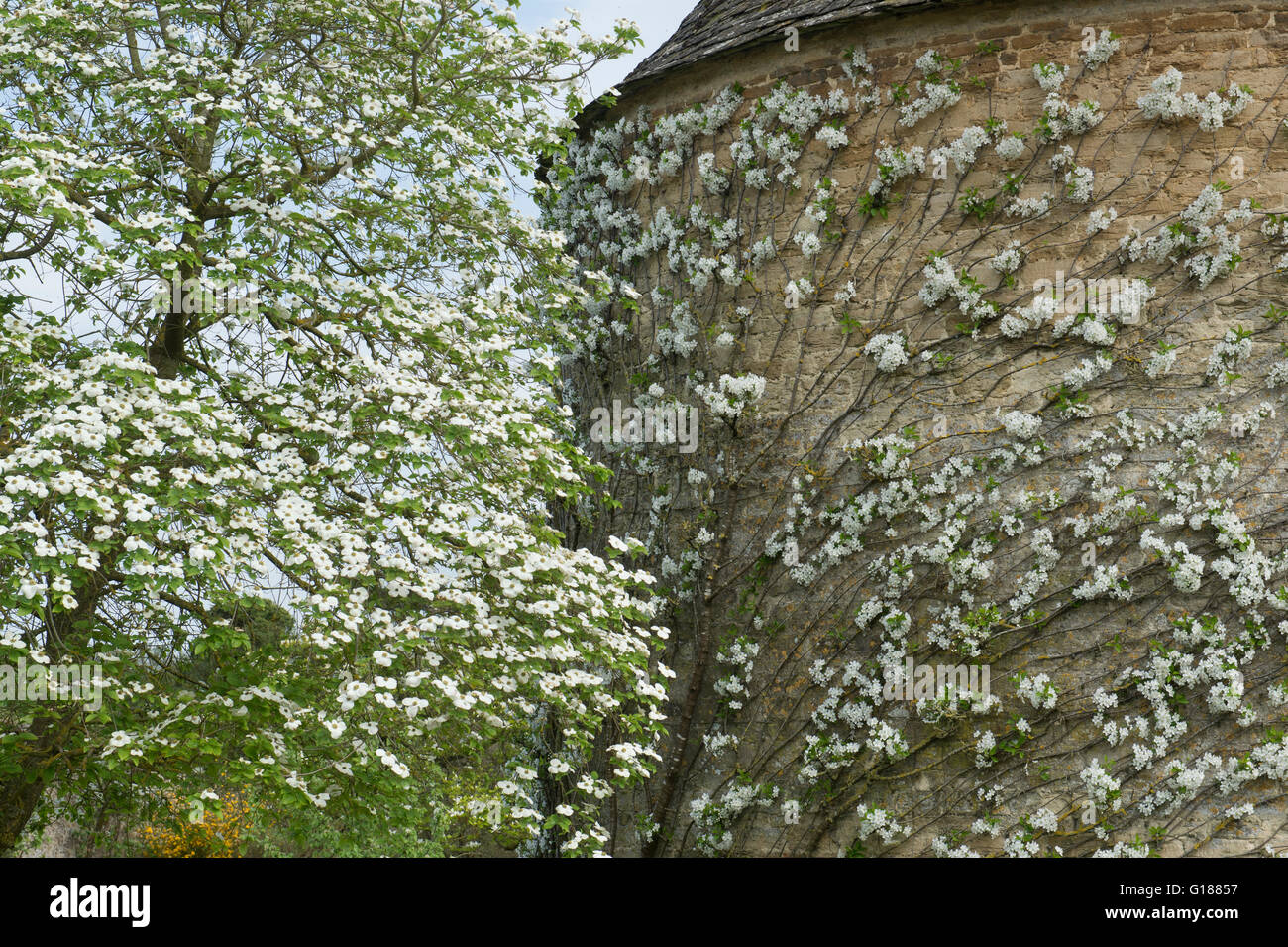 Espalier fruit tree in blossom against the pigeon house at Rousham House and Garden. Oxfordshire, England - Stock Image