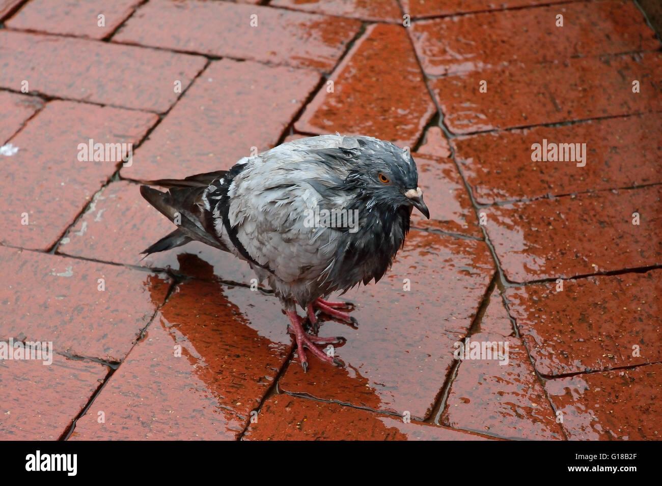 Soaking wet pigeon standing on wet block paving - Stock Image