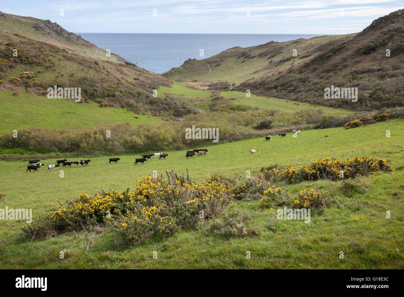 Cows and Sheep near Soar Mill Cove, Devon, England. - Stock Image