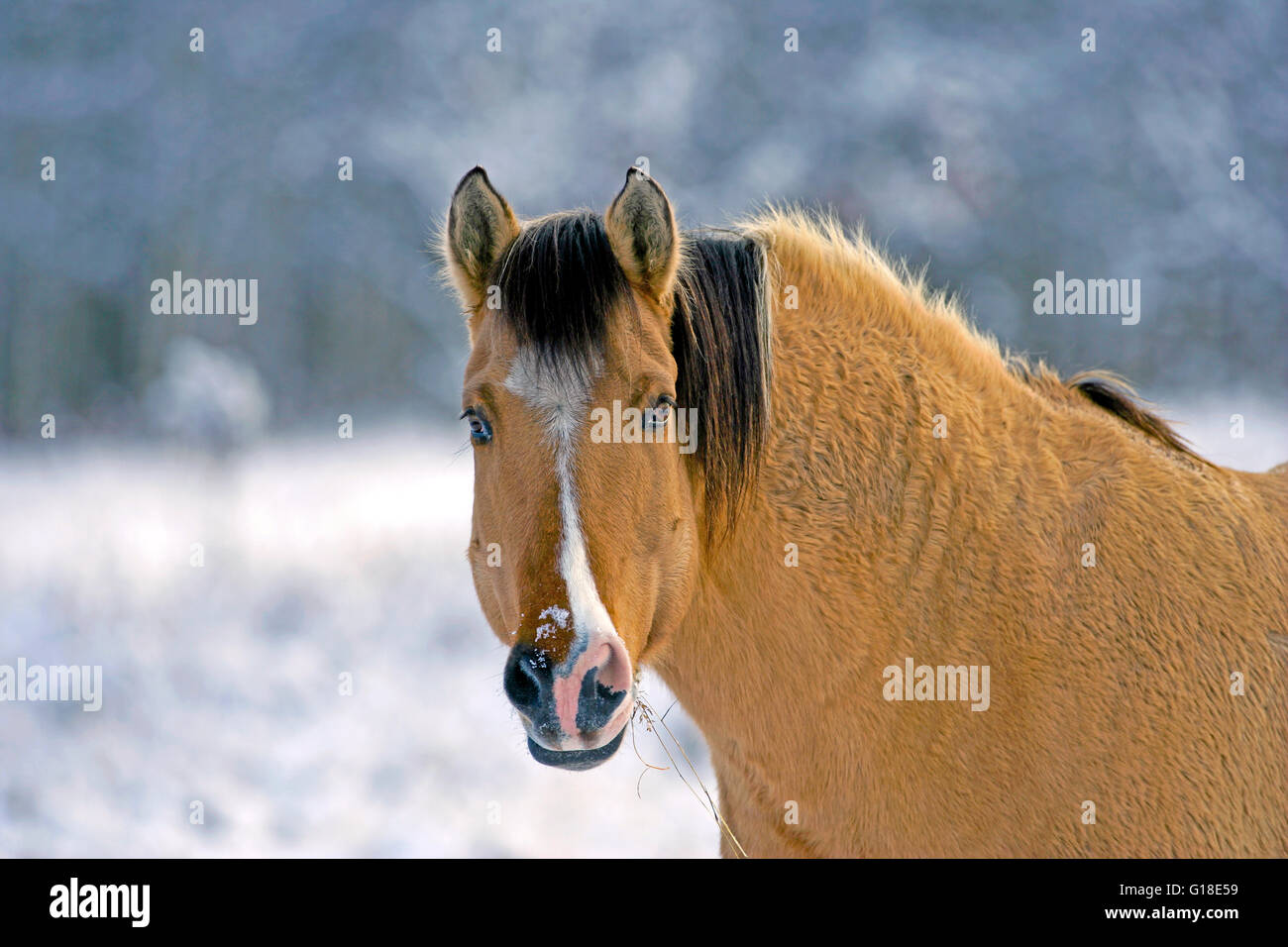 Fjord-Quarter-horse portrait, in winter - Stock Image