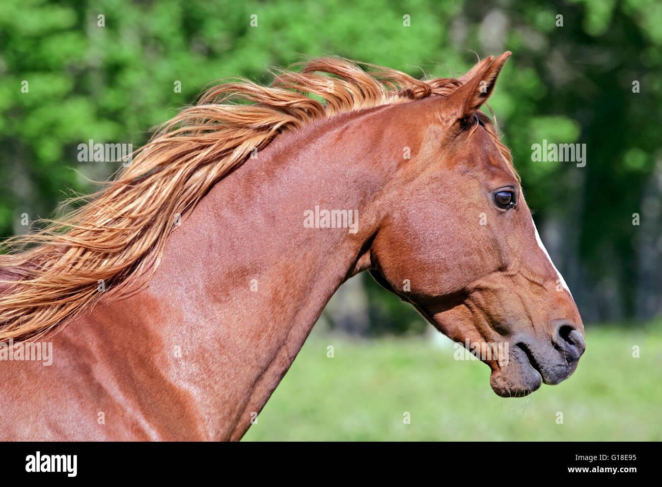 Arabian Horse, chestnut Stallion, portrait Head closeup Stock Photo