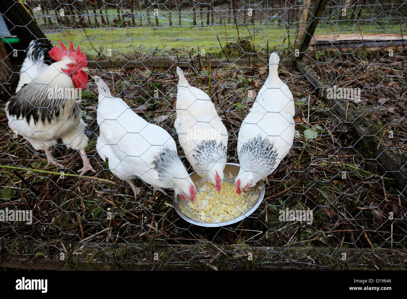 Pure breed Light Sussex hens and rooster feeeding on egg and potato, Wales, UK Stock Photo