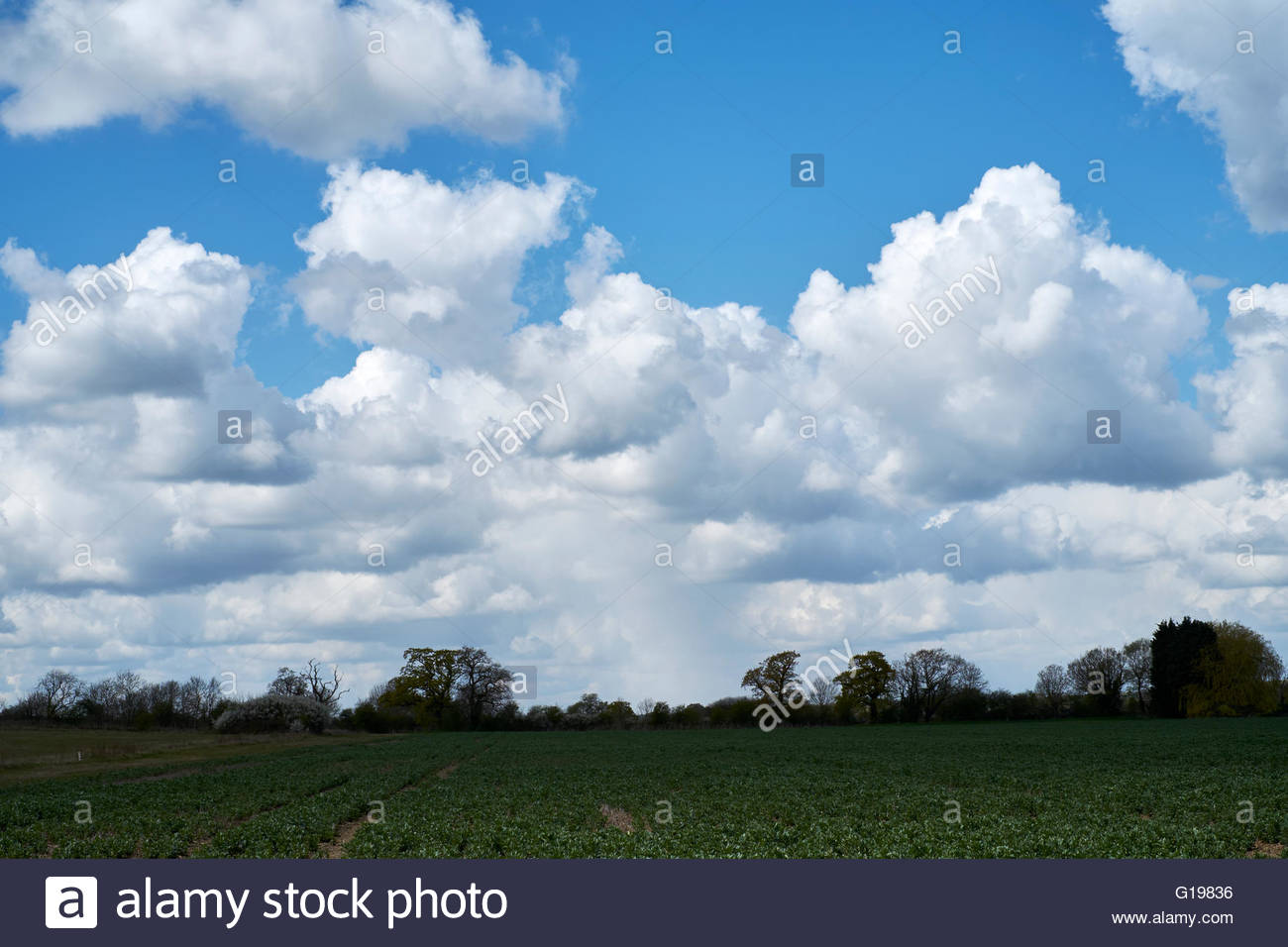 Cumulonimbus clouds forming against a bright blue sky over agricultural land. Bedfordshire, UK. - Stock Image