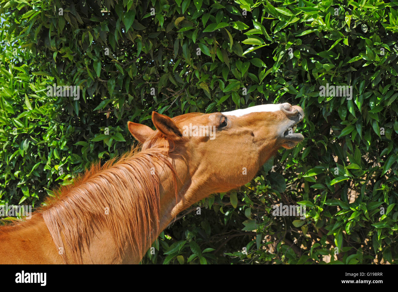 Horse eat leaves from a bush - Stock Image