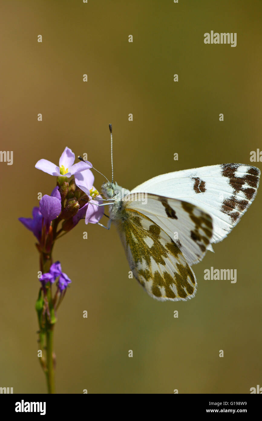 Eastern Dappled White, Euchloe ausonia - Stock Image