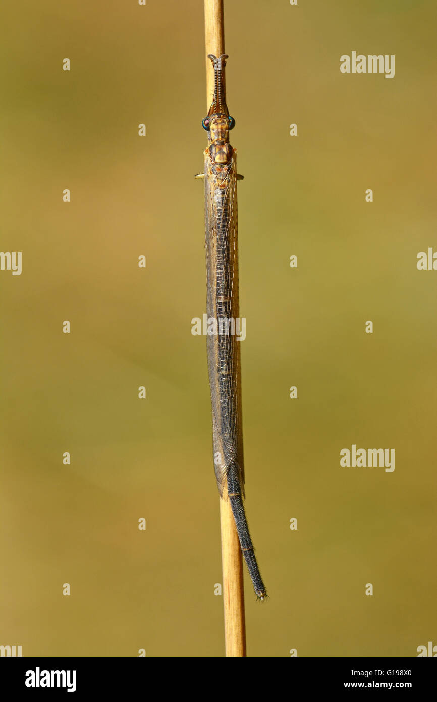 Lion ant on dry stem, Israel - Stock Image