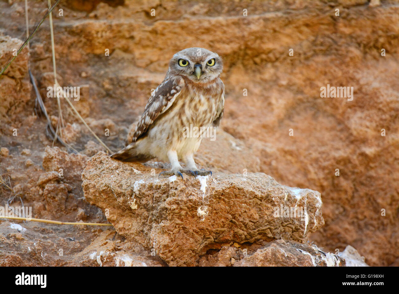 Little owl camouflage colors Stock Photo