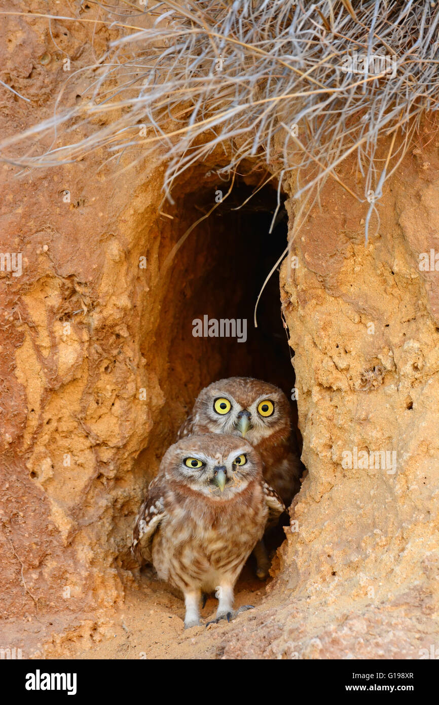 Little owl chicks in burrow Entrance - Stock Image