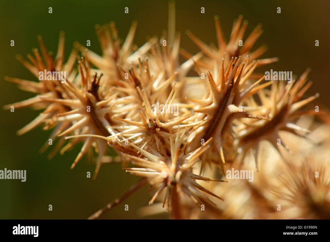 Thorny seed dispersal - Stock Image