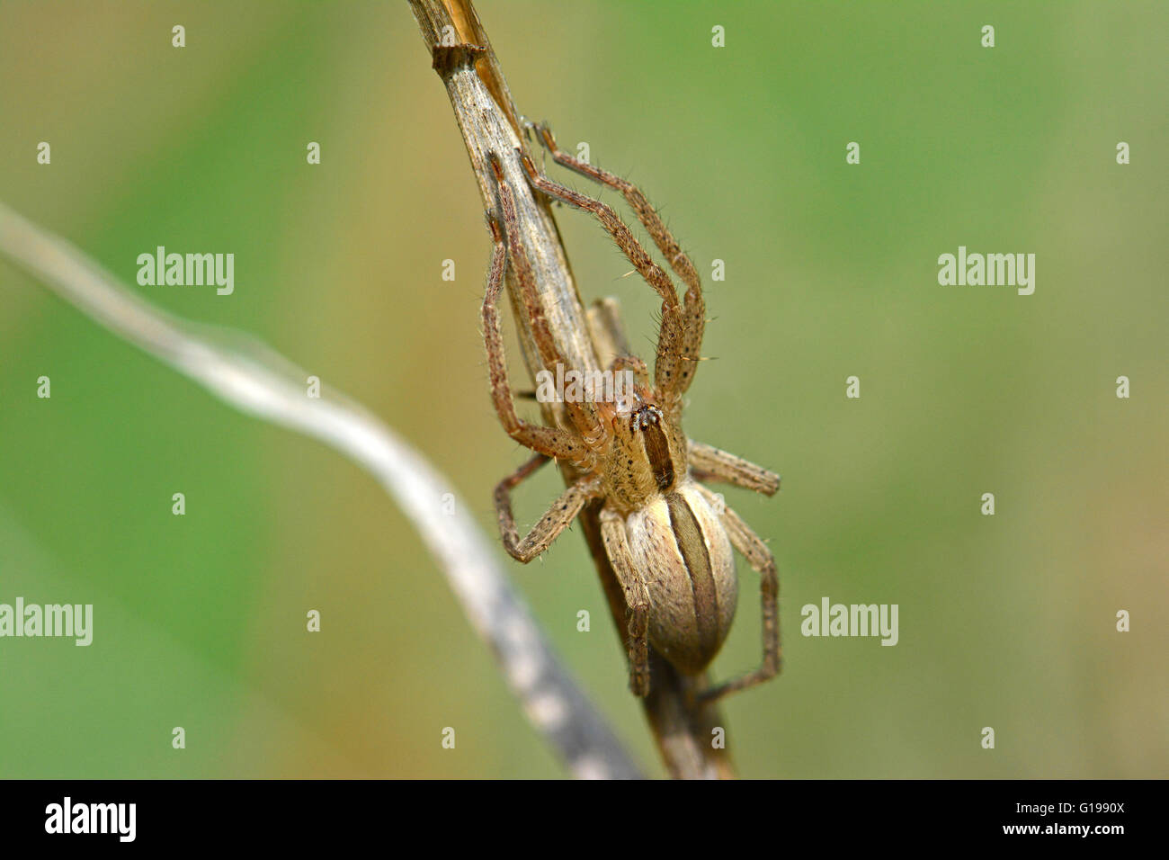 Spider camouflage - Stock Image