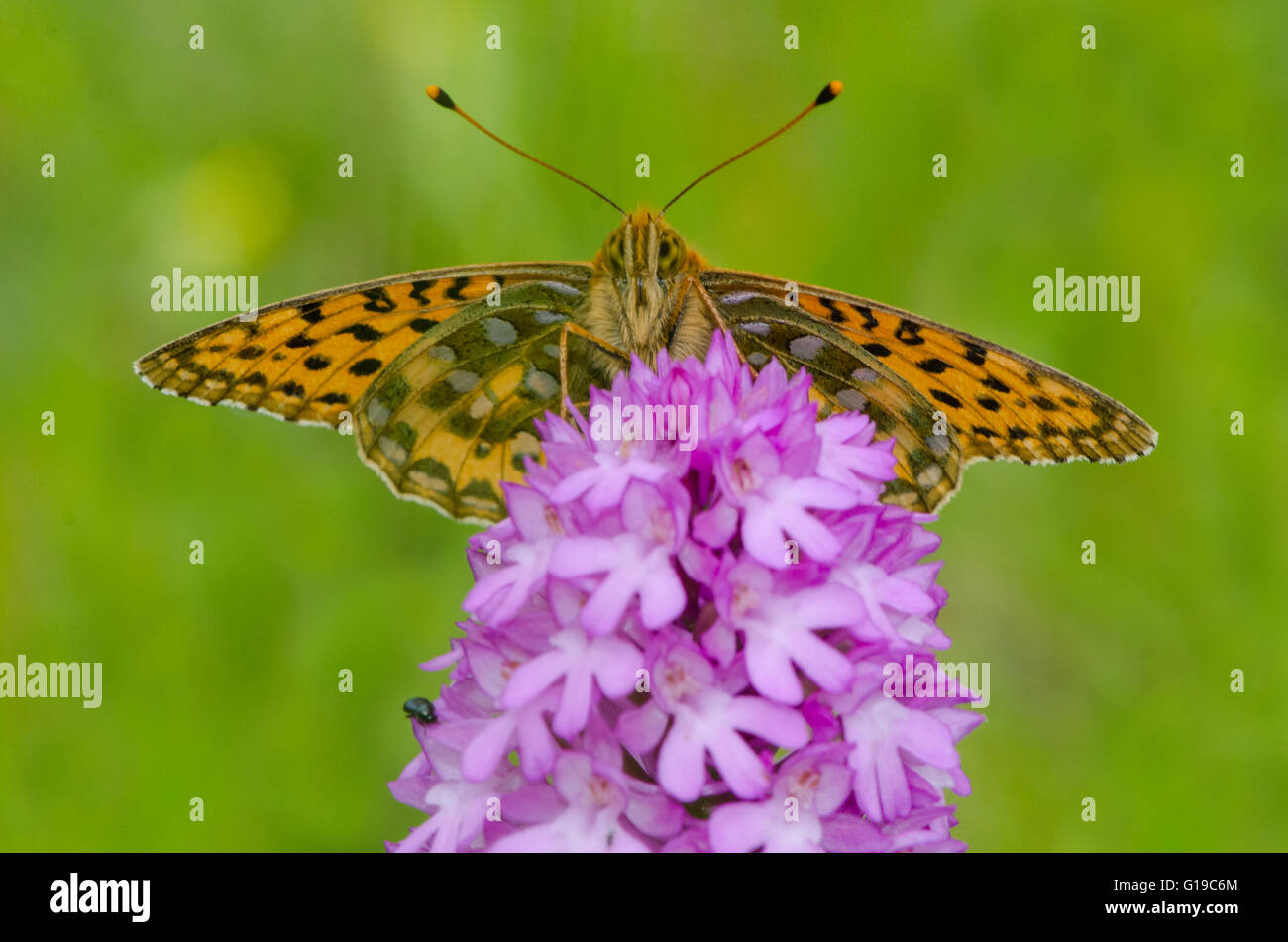 Dark Green Fritillary butterfly on Pyramidal Orchid Stock Photo