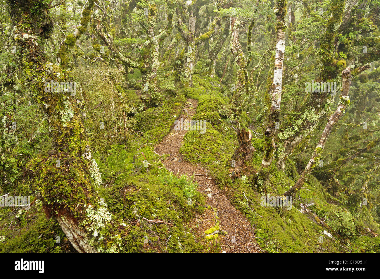 Tuatapere Hump Ridge Track path through the mossy New Zealand forest - Stock Image
