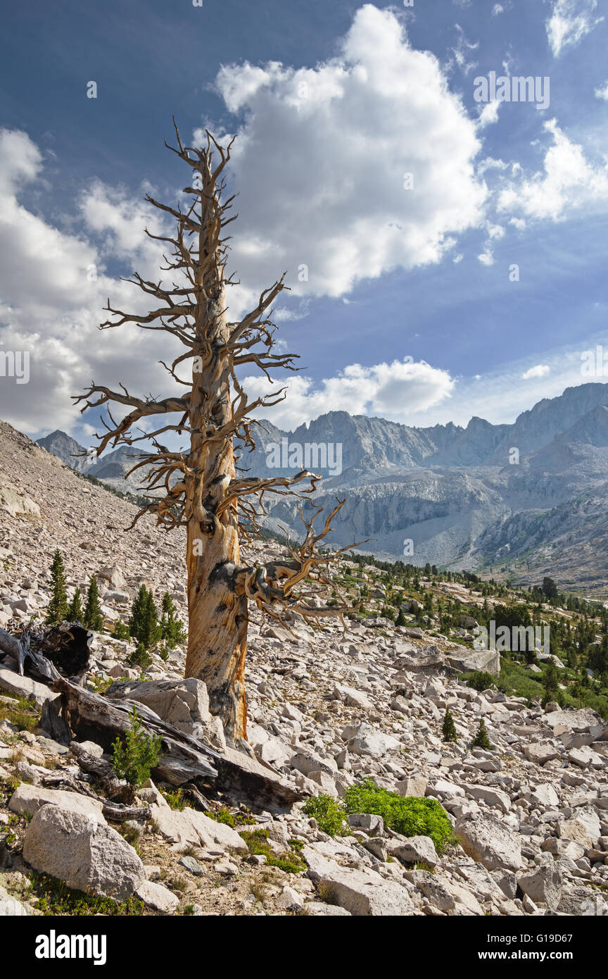 dead pine tree in the Sierra Nevada Mountains - Stock Image