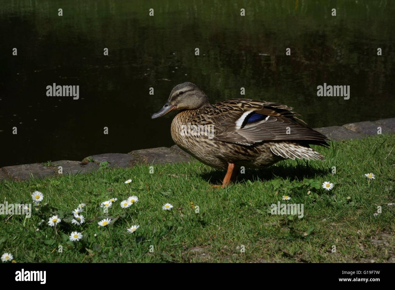Female Mallard duck perched on grass canal towpath. West midlands. UK - Stock Image