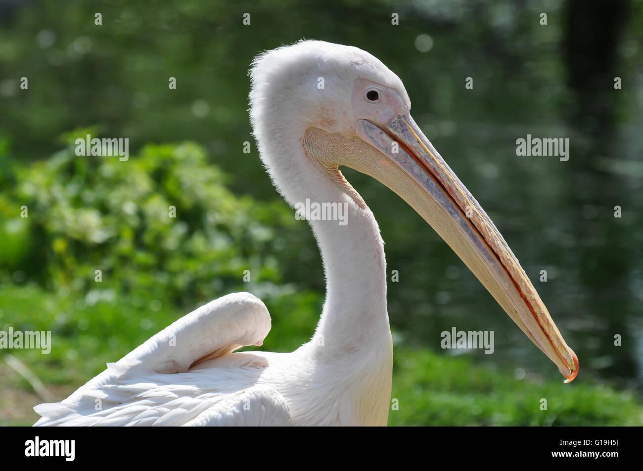 Pelican sunning itself at London Zoo, London, UK. Stock Photo
