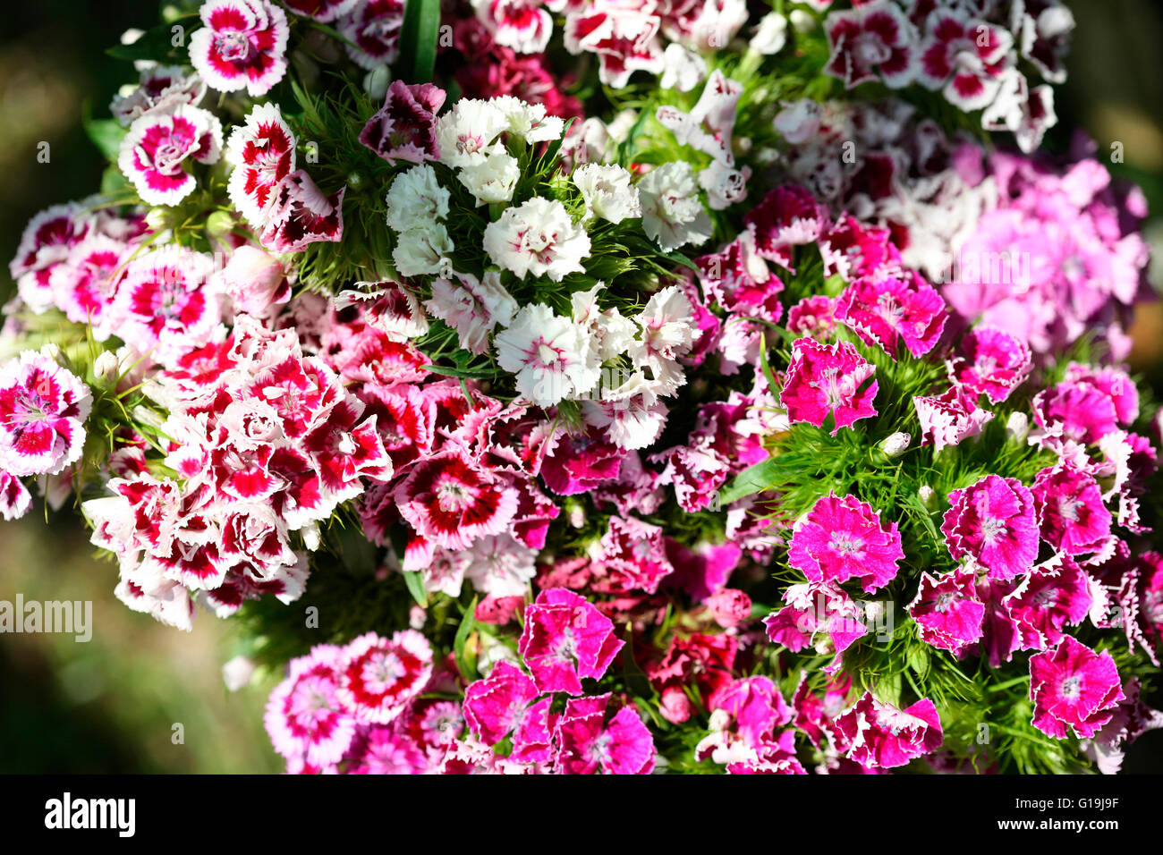 mix of pink and red sweet williams - language of flowers 'gallantry' 'a smile' Jane Ann Butler Photography - Stock Image