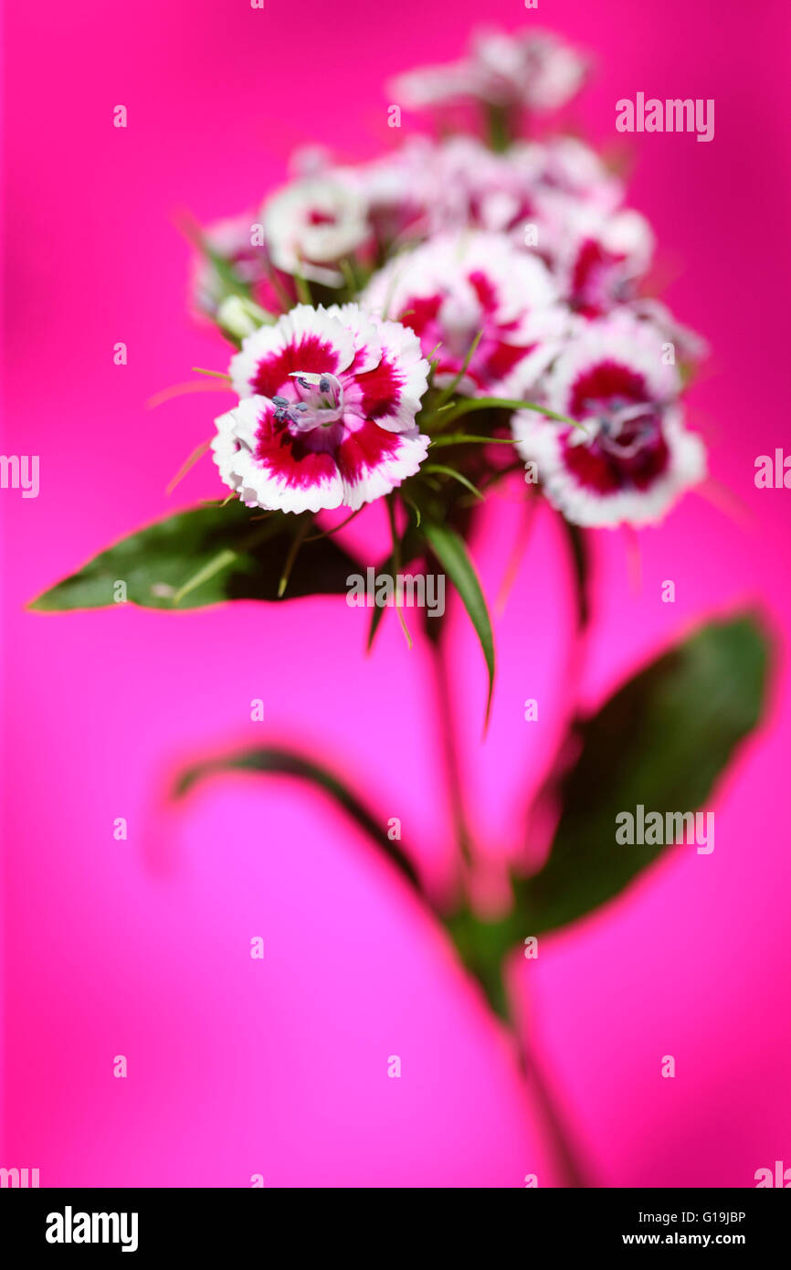 Pink And White Sweet William Stem On Pink Language Of Flowers