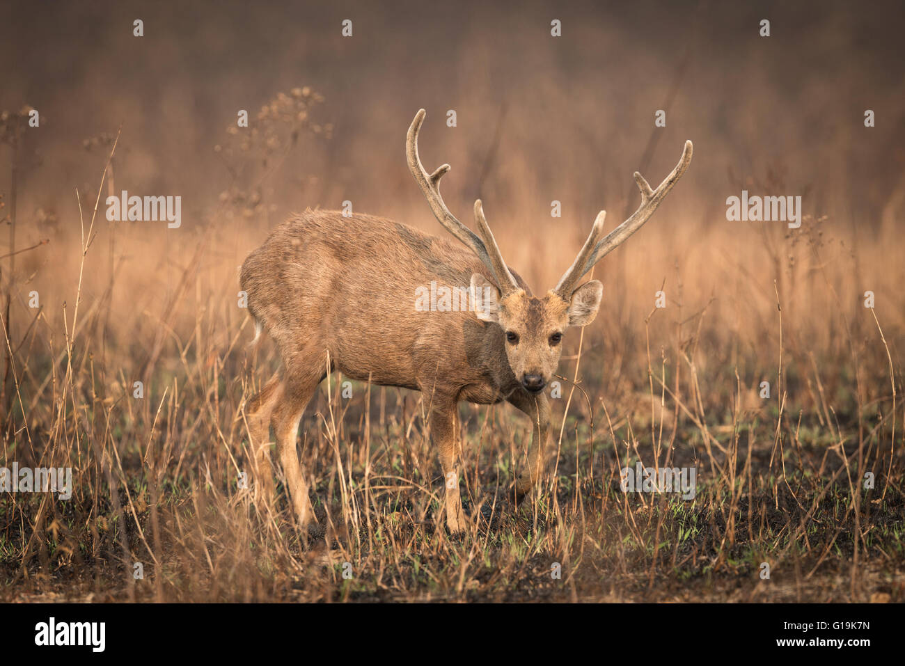 Indohinese Hog deer - Once widespread and relatively abundant, the hog deer has suffered dramatic declines.s - Stock Image
