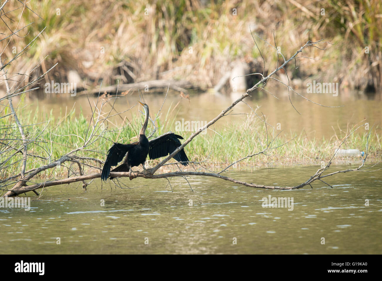 The Oriental darter or Indian darter (Anhinga melanogaster) is a water bird of tropical South Asia and Southeast - Stock Image