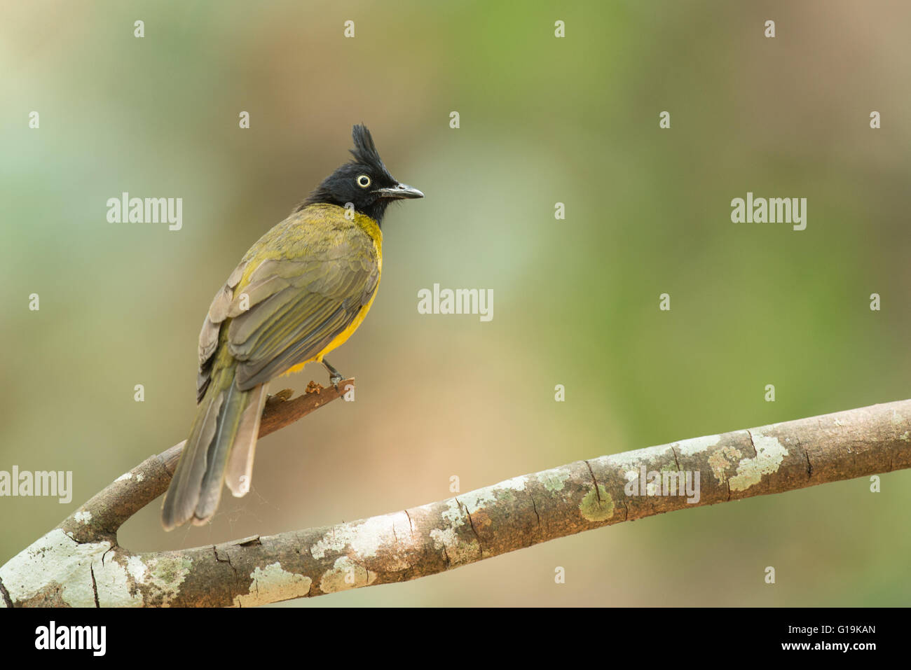 The black-crested bulbul (Pycnonotus flaviventris) is a member of the bulbul family of passerine birds. - Stock Image