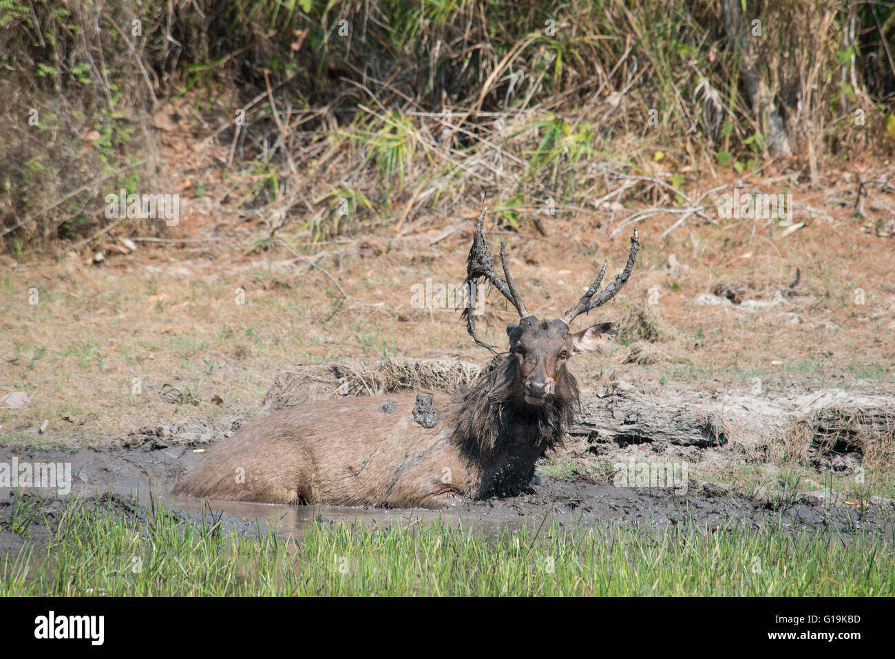 The sambar (Rusa unicolor) is a large deer native to the Indian subcontinent, southern China and Southeast Asia. - Stock Image