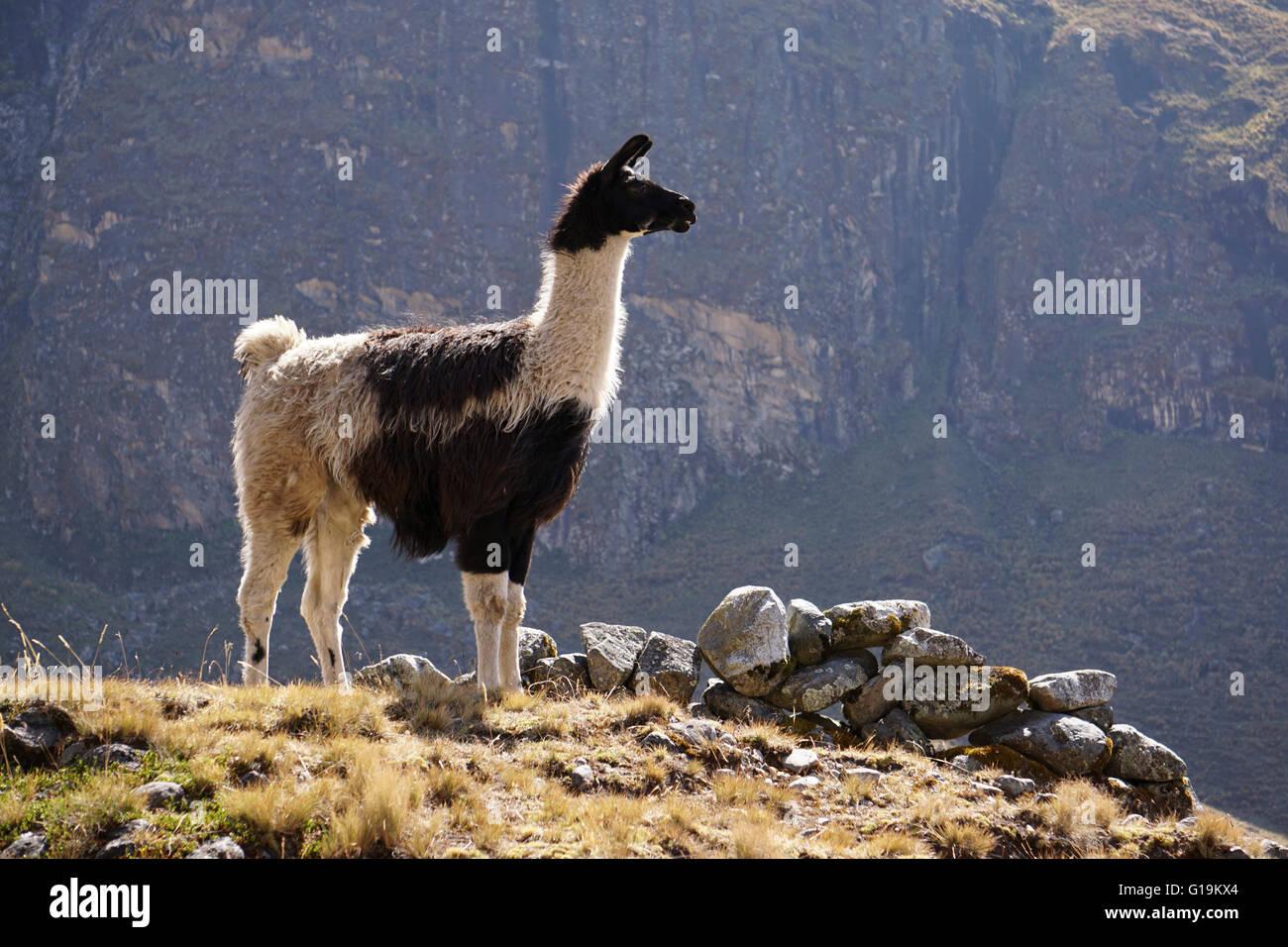 Llama, El Choro, Bolivia - Stock Image