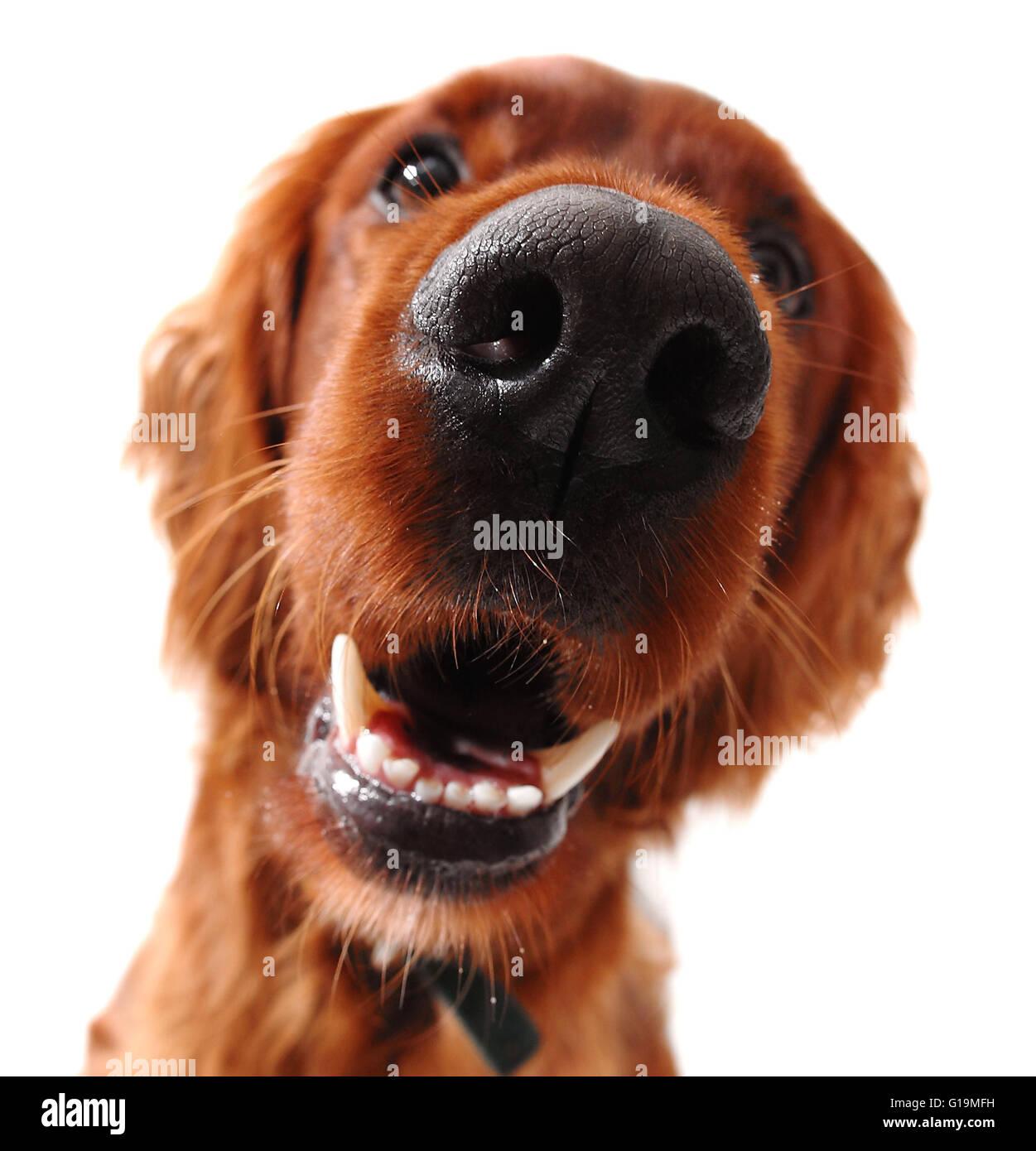 Irish setter dog, taken at fun angle with wide angle lens Stock Photo