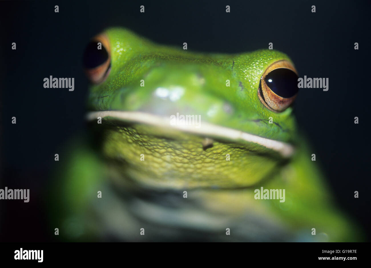 Australia, wildlife, native animals, white-lipped tree frog, closeup of eye. (Litoria infrafrenata). Aka giant tree Stock Photo