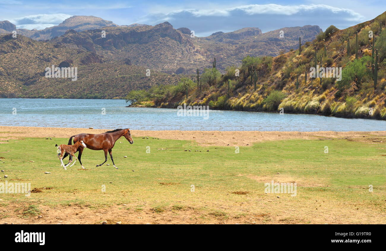 Wild Horses Wild Horse Running In Field With Colt Near River And Stock Photo Alamy