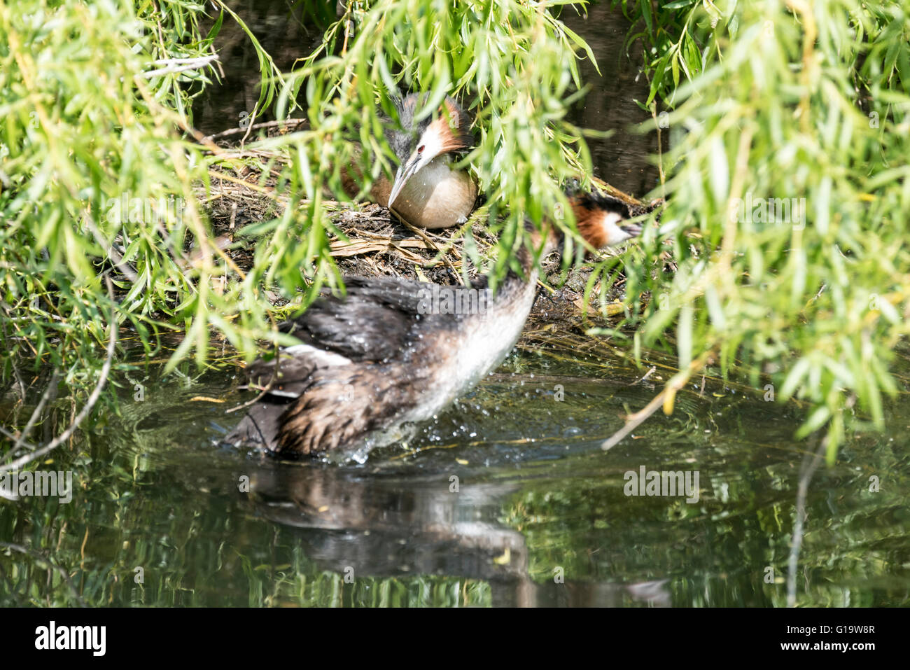 Great Crested Grebes about to swap which one is incubating their eggs - Stock Image