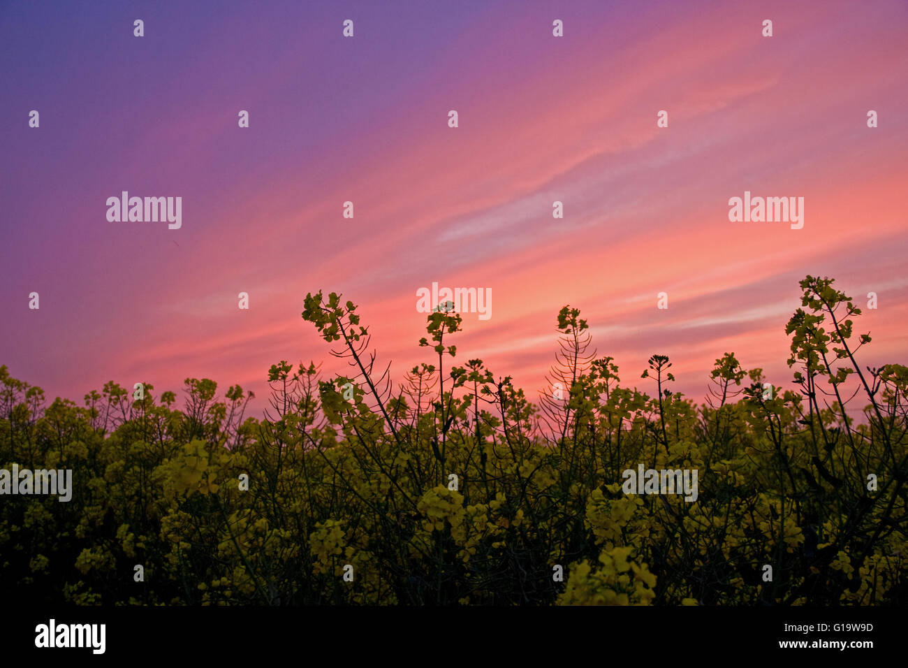 A stunning sunset over a field of yellow rape Stock Photo